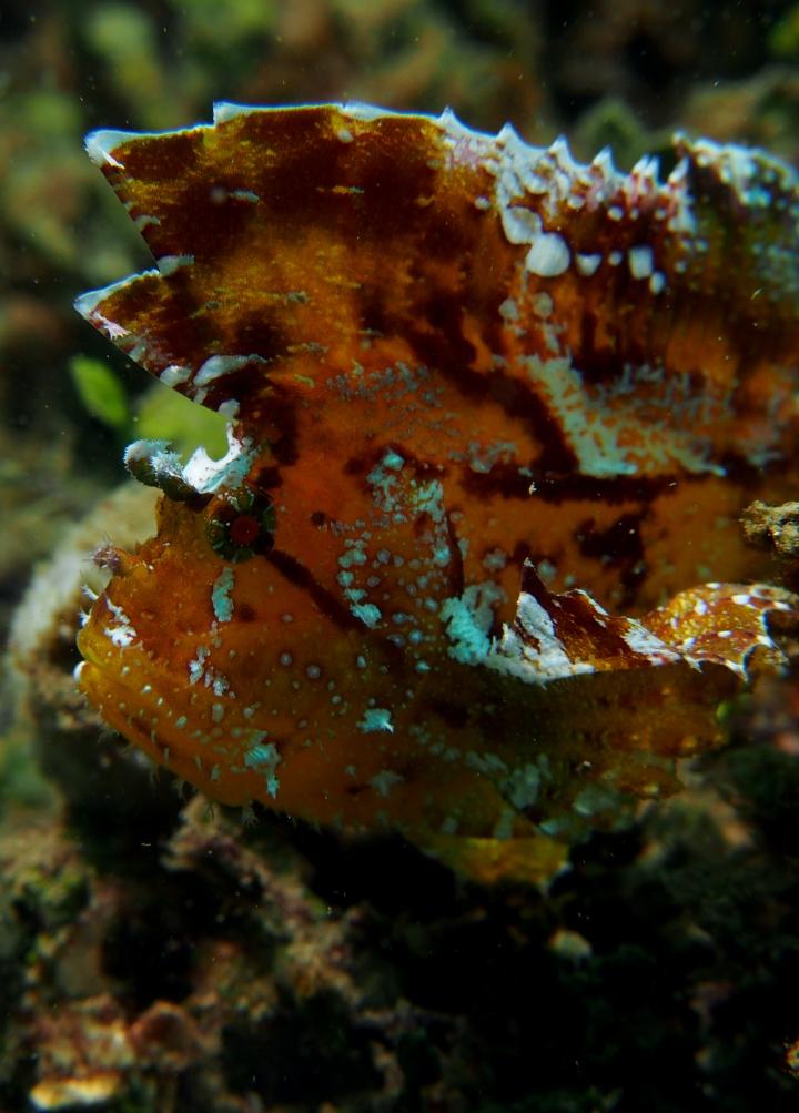 Leaf Fish -Batik formation - Rare